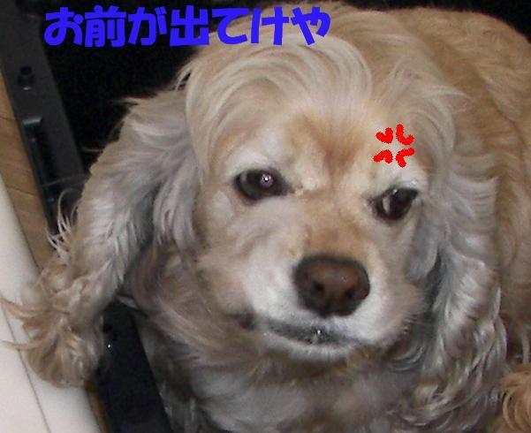 ビーグルと柴犬とコッカーと_b0067012_913623.jpg