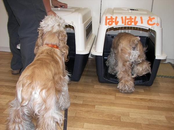 ビーグルと柴犬とコッカーと_b0067012_91488.jpg
