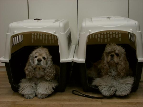 ビーグルと柴犬とコッカーと_b0067012_921663.jpg