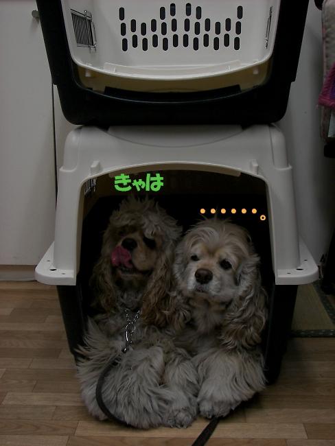 ビーグルと柴犬とコッカーと_b0067012_923180.jpg