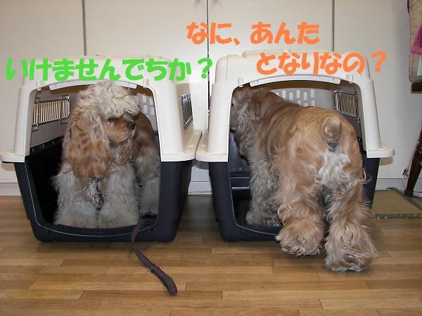 ビーグルと柴犬とコッカーと_b0067012_92343.jpg