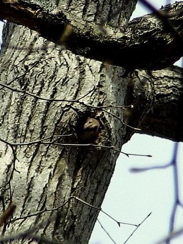 エゾリスの巣穴と満開のエゾヤマザクラ。_b0165760_11485079.jpg