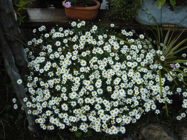 アナーセン ミニ花壇の花・・・・ビスカリア、サントリーボンザマーガレット_b0137969_1853182.jpg