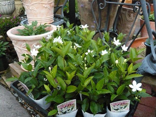 これから、雨、猛暑の季節・・・・・雨にも暑さにもめげない花を植えましょう_b0137969_19345114.jpg