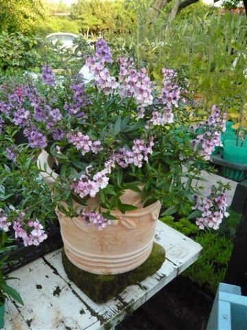 これから、雨、猛暑の季節・・・・・雨にも暑さにもめげない花を植えましょう_b0137969_19442834.jpg