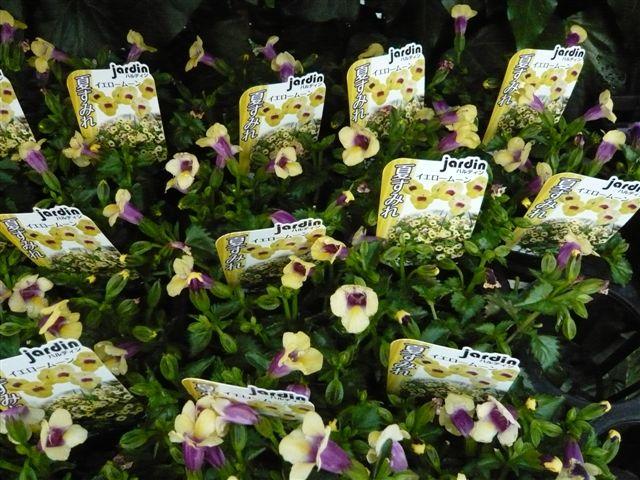 これから、雨、猛暑の季節・・・・・雨にも暑さにもめげない花を植えましょう_b0137969_19552068.jpg