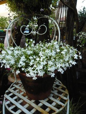 アナーセン ミニ花壇の花・・・・ビスカリア、サントリーボンザマーガレット_b0137969_1984734.jpg