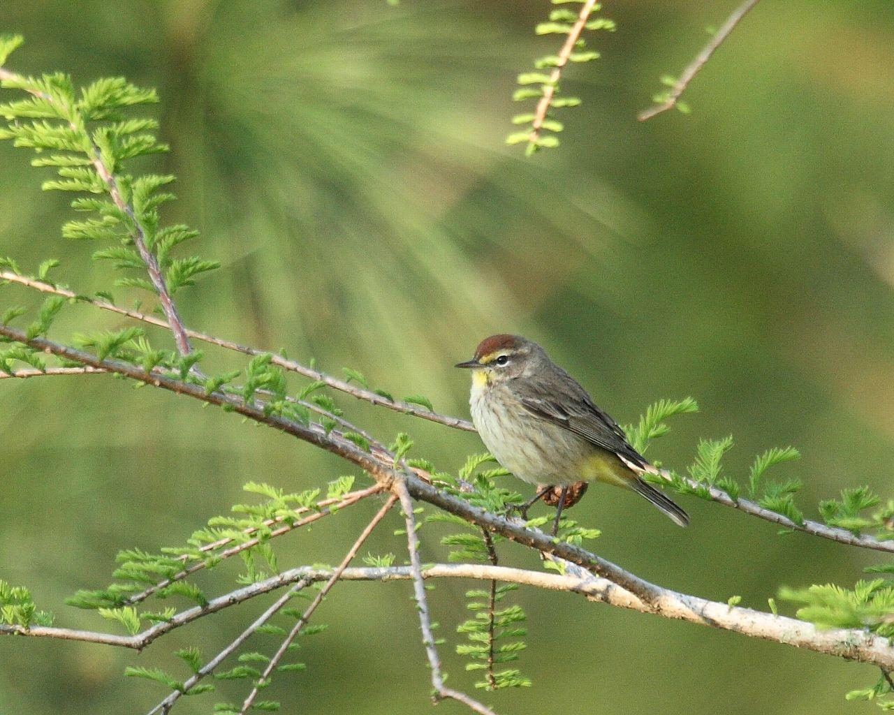 フロリダの野鳥(その8) アメリカムシクイの仲間_f0105570_21451931.jpg