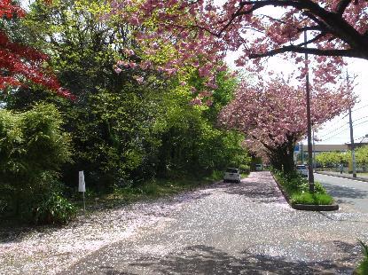 八重桜_e0077899_7262066.jpg