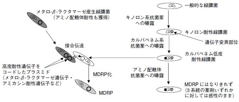 多剤耐性緑膿菌(MDRP)_e0156318_190879.jpg
