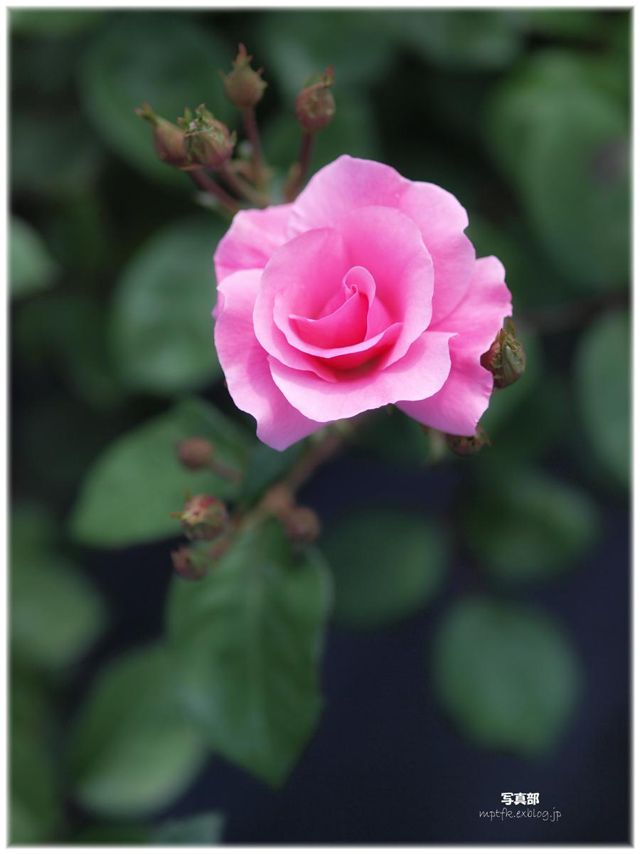 薔薇_f0021869_23102658.jpg