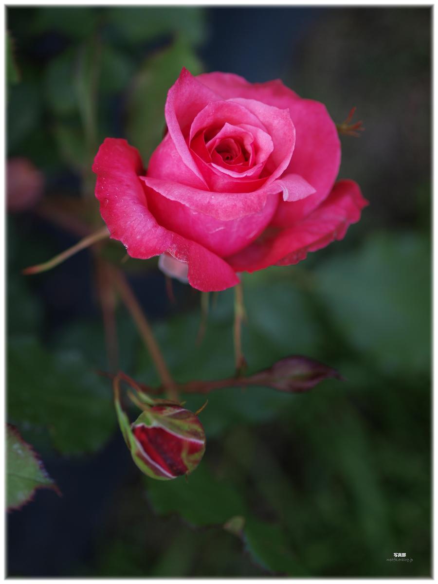薔薇_f0021869_23112343.jpg