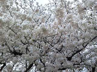 ☆満開の桜と竹田和平さん☆_e0142585_1332217.jpg