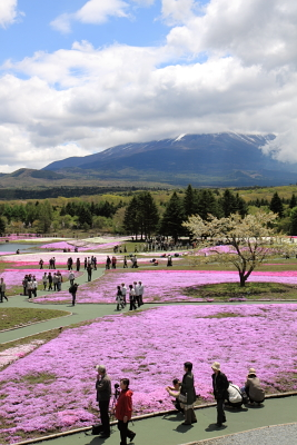 富士芝桜まつり開催中_c0193896_0265678.jpg