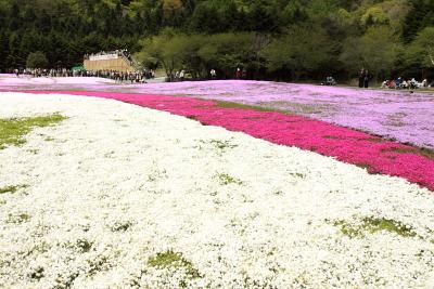富士芝桜まつり開催中_c0193896_0274214.jpg