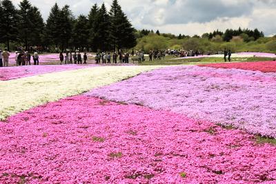 富士芝桜まつり開催中_c0193896_0275980.jpg