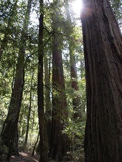 緑の癒し Big Basin Redwoods State Park_b0180714_12564065.jpg
