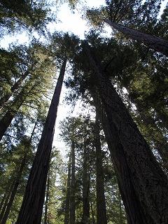 緑の癒し Big Basin Redwoods State Park_b0180714_1256573.jpg