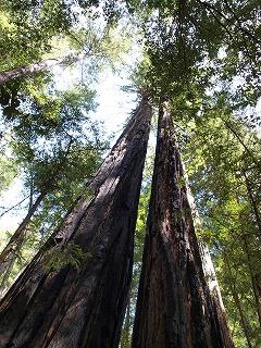 緑の癒し Big Basin Redwoods State Park_b0180714_12571043.jpg