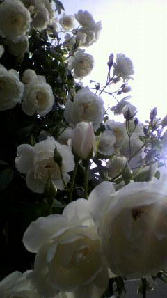 rose_d0162257_22204235.jpg