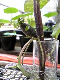 ジャガイモの茎から実??_b0164360_14333950.jpg