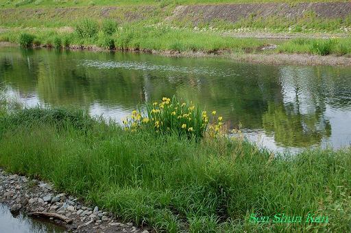 加茂川の黄菖蒲_a0164068_21195818.jpg