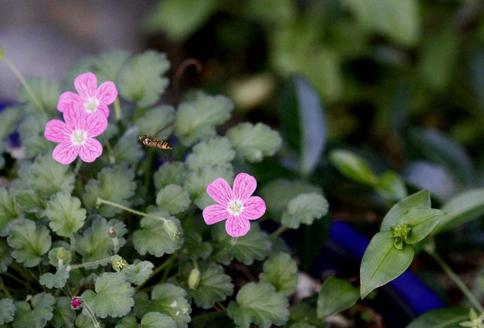 ミツバシモツケの花が咲き始めました_a0107574_8262233.jpg