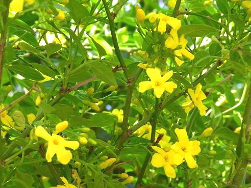 初夏の花々、エゴノキ、ブラシノキ、キソケイなど_c0192215_8484130.jpg