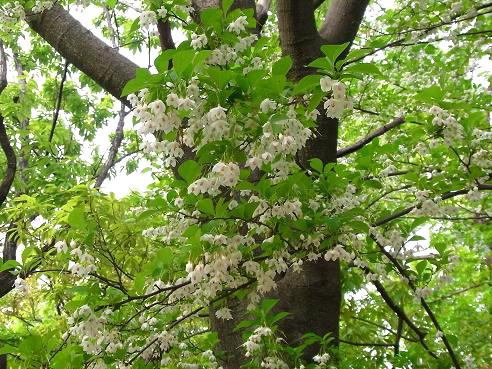 初夏の花々、エゴノキ、ブラシノキ、キソケイなど_c0192215_848944.jpg