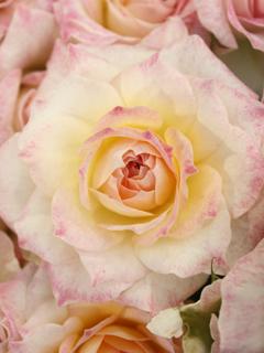 国際バラとガーデニングショーに行ってきた_c0053520_1224024.jpg