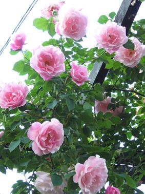 薔薇園_a0111125_16555371.jpg