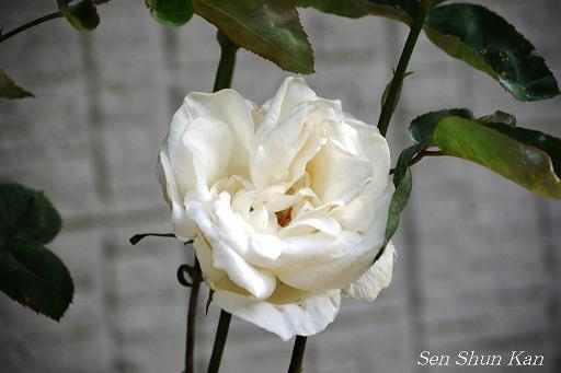 バラの花_a0164068_15481573.jpg