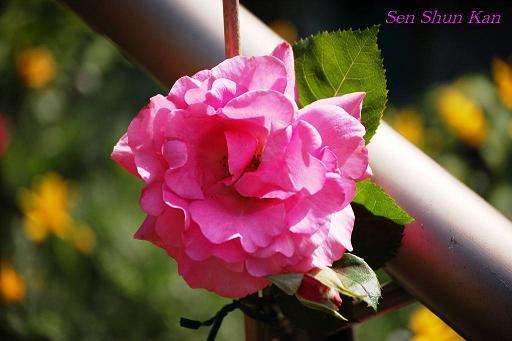 バラの花_a0164068_15483735.jpg