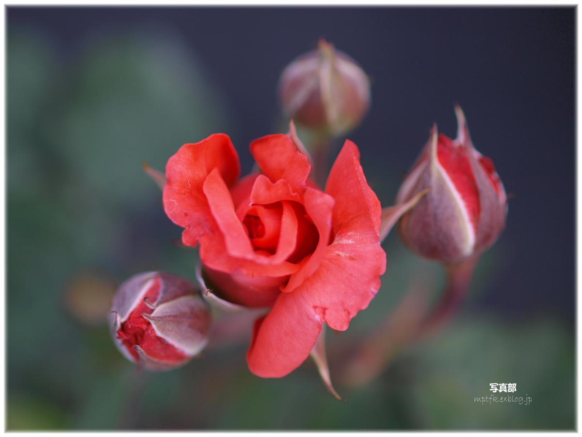 薔薇_f0021869_20315526.jpg