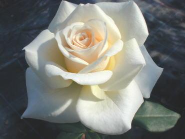 バラの素敵なフラワーベース_f0029571_956255.jpg