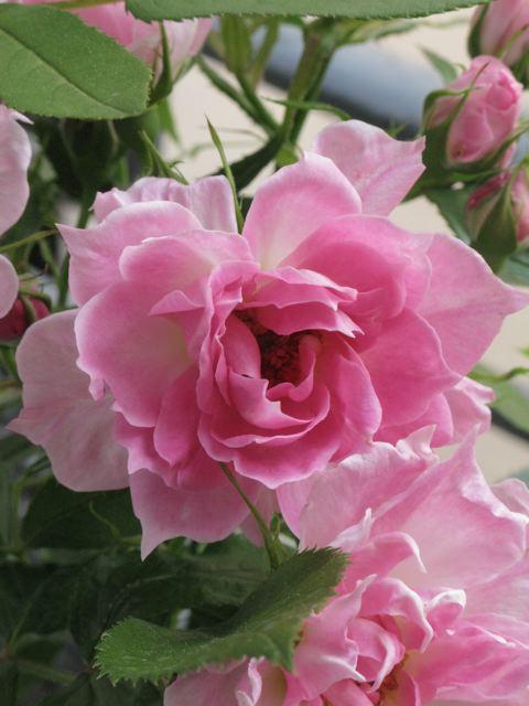 バルコンの薔薇が〜♪(薔薇の村ーフランス)_f0119071_16422788.jpg
