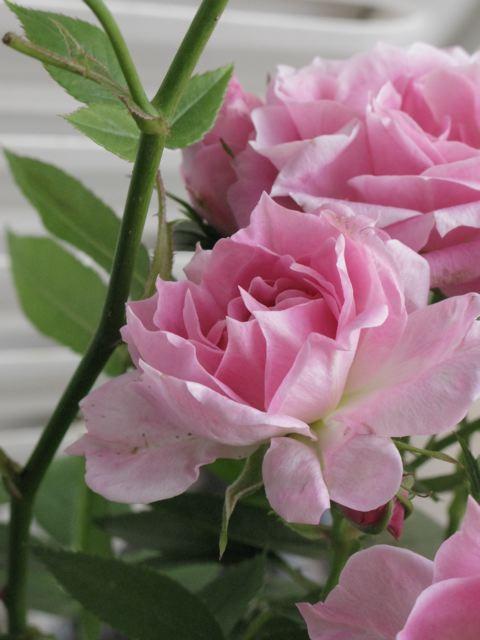 バルコンの薔薇が〜♪(薔薇の村ーフランス)_f0119071_17221742.jpg