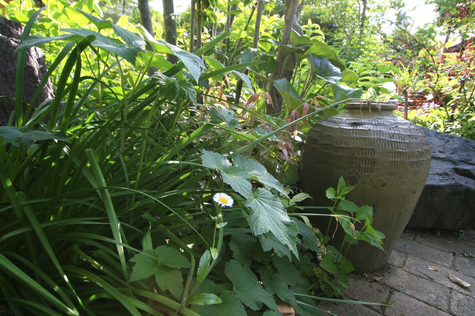 庭の雑草                  ハルジオン_a0107574_4121838.jpg