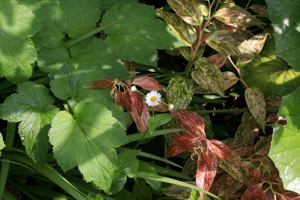 庭の雑草                  ハルジオン_a0107574_41289.jpg