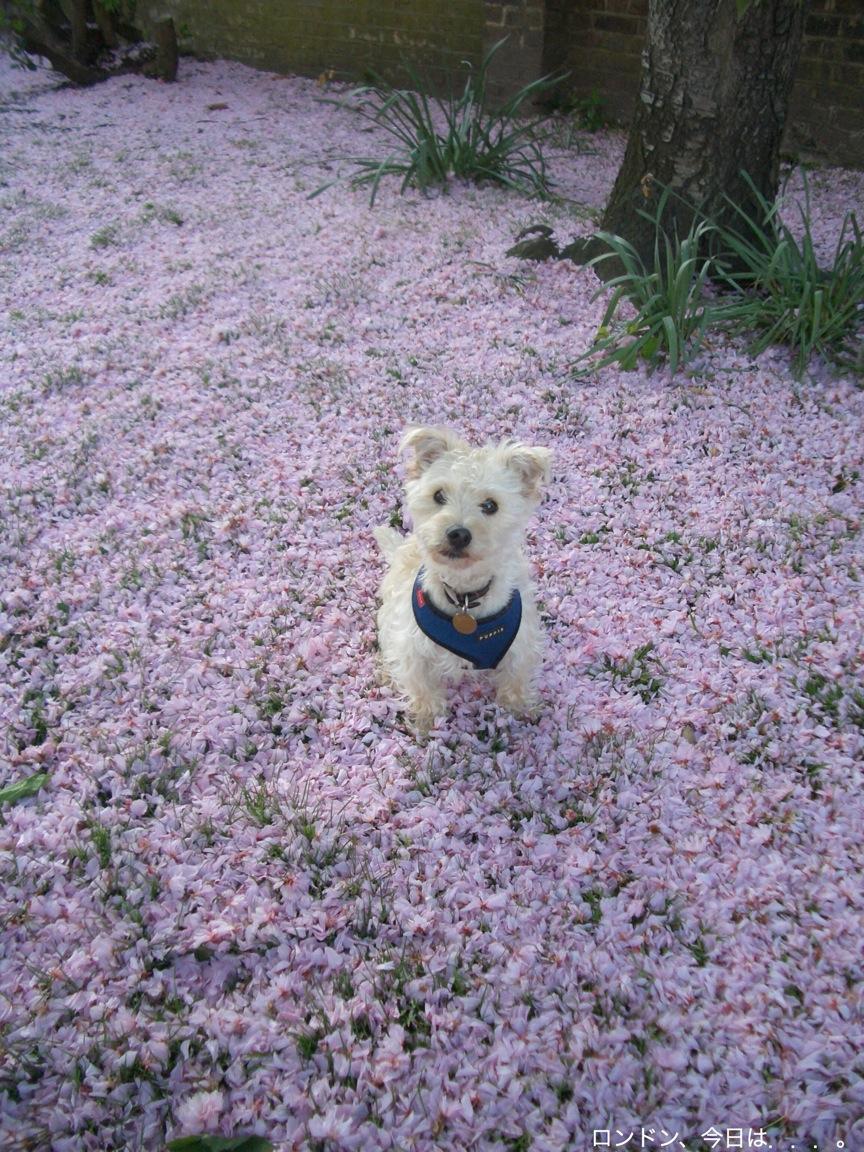 桜色のじゅうたん_a0137487_141399.jpg