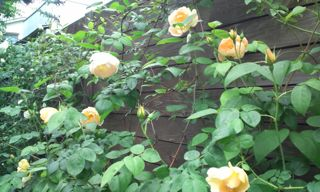 バラ・ばら・薔薇!_a0162191_22214881.jpg