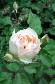 バラ・ばら・薔薇!_a0162191_22343033.jpg