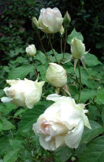 バラ・ばら・薔薇!_a0162191_22344937.jpg
