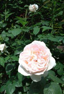 バラ・ばら・薔薇!_a0162191_22411166.jpg
