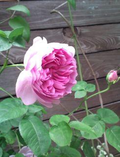 バラ・ばら・薔薇!_a0162191_2302524.jpg