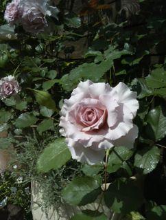 バラ・ばら・薔薇!_a0162191_2344275.jpg