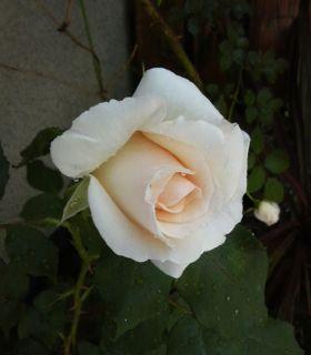 バラ・ばら・薔薇!_a0162191_2354273.jpg