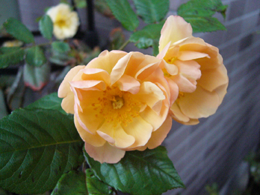 今日の薔薇_a0111125_1918594.jpg