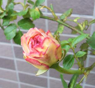 今日の薔薇_a0111125_19231317.jpg