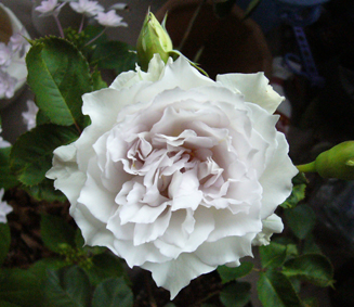 今日の薔薇_a0111125_1964450.jpg